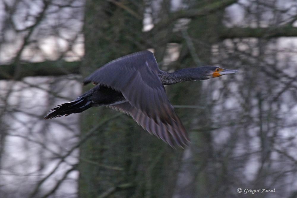Abfliegender Kormoran...am 20.12.15 Foto: Gregor Zosel