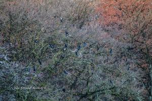 Einer der Bäume, die mit Kormoranen besetzt waren. 08.12.2015 (Foto: G.Reinartz)