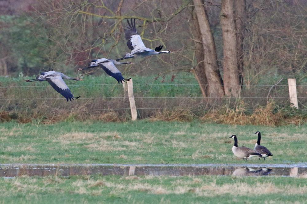 ... diese `Kleinfamilie´ - zwei Jungvögel mit nur einem Altvogel - startet zuerst und zunächst auch ganz allein..., 23.11.2015 Foto: Bernhard Glüer