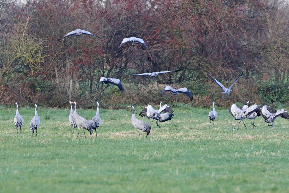... schubweise erheben sich auch die übrigen Vögel in kleinen Gruppen in die Luft..., 23.11.2015 Foto: Bernhard Glüer