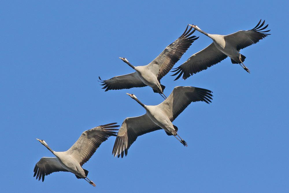 ... immer wieder sieht man einigen teils sehr niedrig vorbeikommenden Vögeln förmlich an, dass das Fliegen für sie `schwere Arbeit´ ist..., 23.11.2015 Foto: Bernhard Glüer