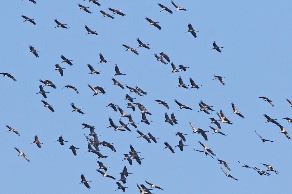 ... hier und da kommt es zu gigantischen Ansammlungen von vielen aufeinanderstoßenden Trupps, die mühsam Flügel schlagend und mal segelnd versuchen..., 23.11.2015 Foto: Bernhard Glüer