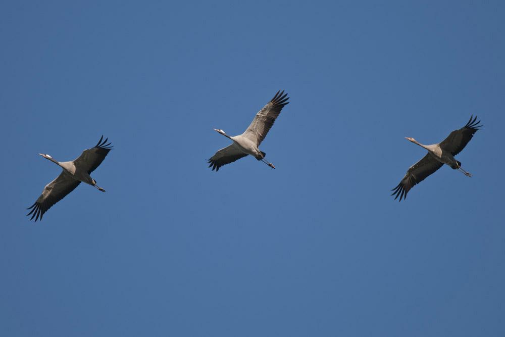 Kraniche, hier bei Bentrop, links zwei Altvögel und rechts ein Jungvogel, am 23.11.2015 Foto: Marvin Lebeus