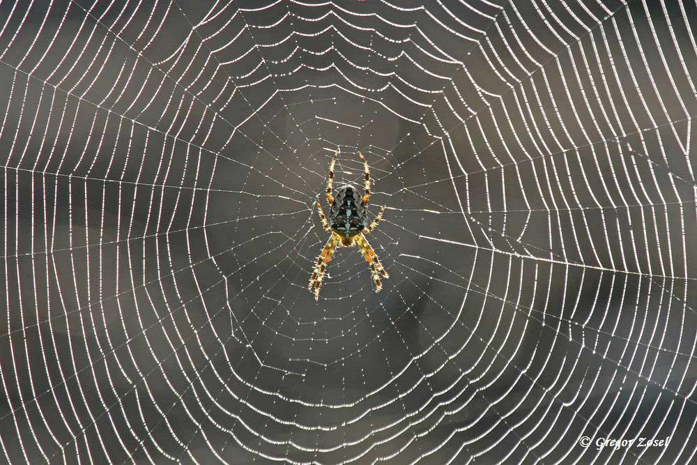 War heute früh das häufigste Bild am Wegesrand. Kreuzspinne im Netz mit Morgentau....am 26.09.15 Foto: Gregor Zosel