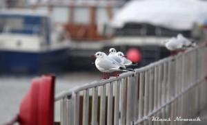 Lachmöwen in der Marina in Rünthe am 31.01.2015 Foto: K.Nowack