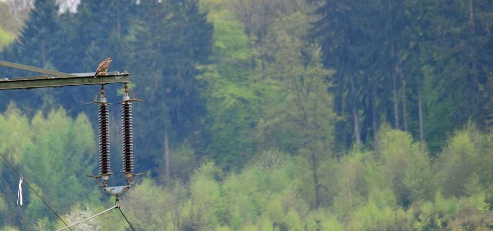 Mäusebussard auf dem `Baumfalkenmasten´, Kiebitzwiese in Fröndenberg, 29.04.2015 Foto: Hans-Joachim Asbeck