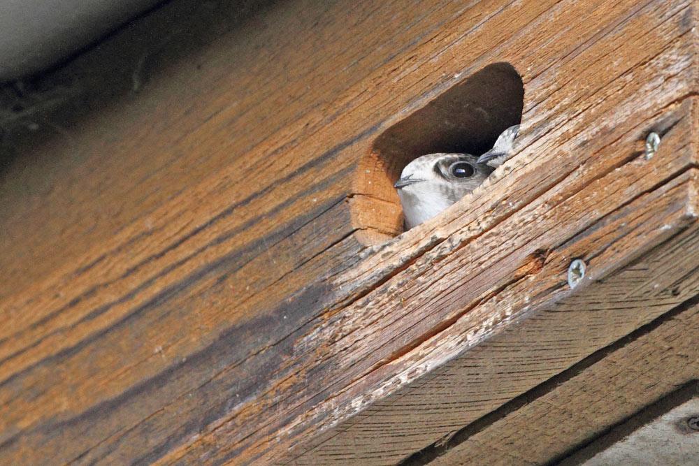 ... voll befiederte Jungvögel, die herausschauen, sind dabei kein Hemmnis und müssen von deren Elternvögeln, die meist ebenfalls in der Bruthöhle sitzen, verteidigt werden (lautes Rufen genügt gewöhnlich)..., 23.07.2015 Foto: Bernhard Glüer