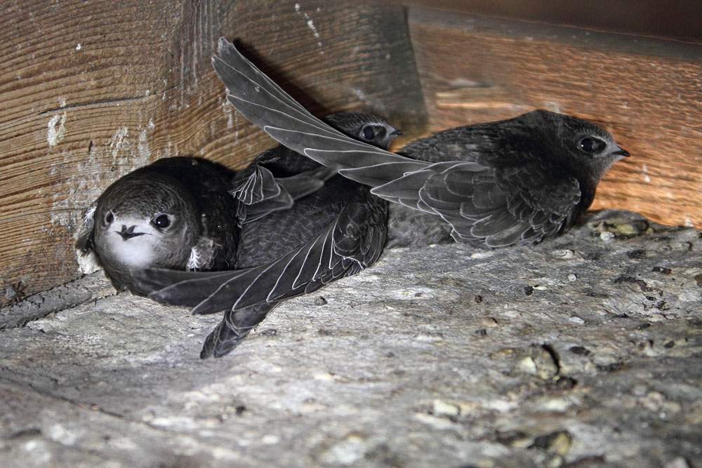 ...diese drei fast flüggen Jung-Mauersegler im Turm der Fröndenberger Stiftskirche warten noch auf letzte Fütterungen..., 26.07.2015 Foto: Bernhard Glüer