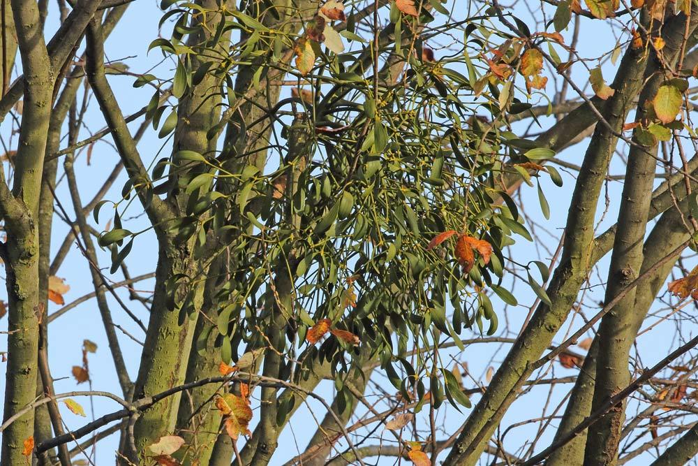 Botanisches `Kuriosum´: eine Mistel auf Salweide (Hemmerder Wiesen), 26.11.2015 Foto: Bernhard Glüer