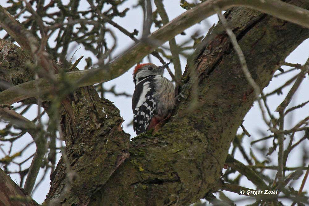 In den alten Obstbäumen auf der Streuobstwiese findet er in den Ritzen der Baumrinden seine Nahrung......am 01.02.15 Foto: Gregor Zosel