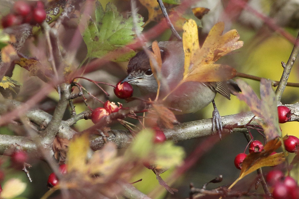 ...nascht mal von den Beeren des Weißdorns..., 05.11.2015 Foto: Bernhard Glüer