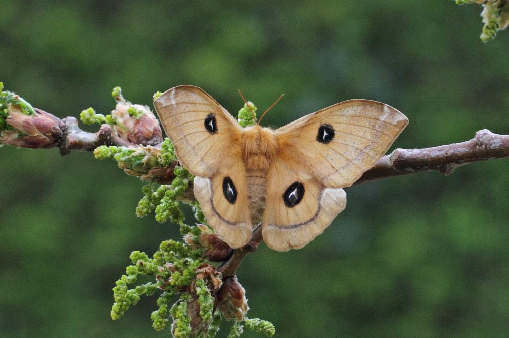 Die Augenflecken auf den Flügeln haben zur Namensgebung dieses Falters geführt: Nagelfleck (Frdbg.-Hohenheide), 25.04.2015 Foto: Bernhard Glüer