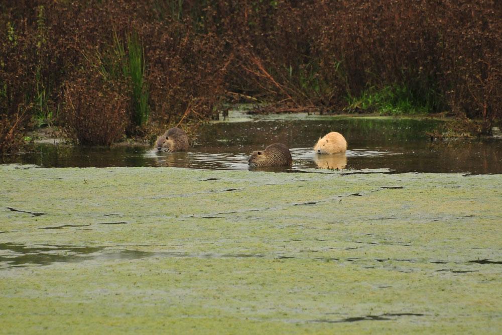 Nutrias; so sind es nun sogar 4 Tiere, 1 ebenfalls braun gefärbtes Nutria schwimmt zur gleichen Zeit unterhalb des Aussichtshügels, am 18.10.2015 Foto: Marvin Lebeus
