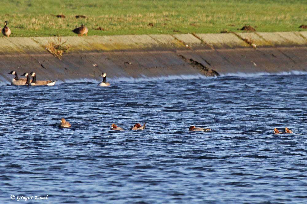 Pfeifenten auf stürmischer See im Hammer Wasserwerk....am 23.12.15 Foto: Gregor Zosel