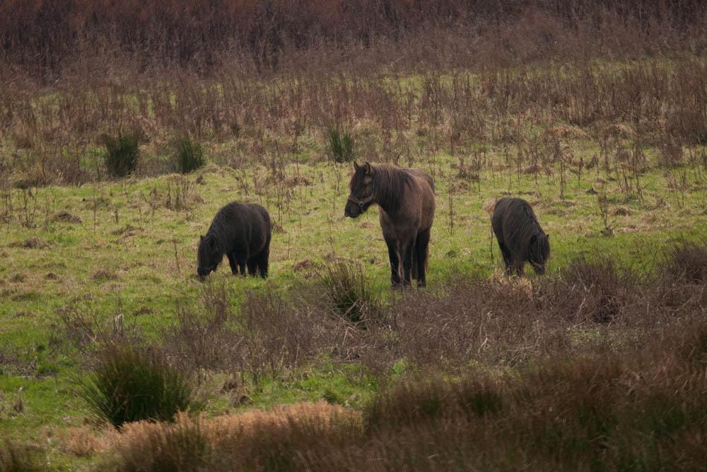 Hier kommt die Kavallerie, im Kampf gegen unerwünschtes Grün; Pferde im Einsatz auf der Kiebitzwiese und zur Unterstützung der Heckrinder, am 13.12.2015 Foto: Marvin Lebeus