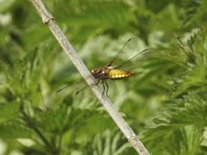 Plattbauchlibelle (weiblich) am 24.05.15