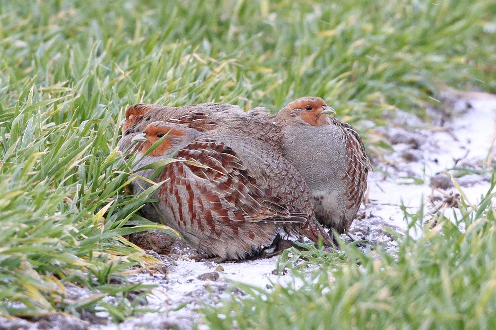 ...dass es sich bei diesen vier Rebhühnern..., 29.01.2015 Foto: Bernhard Glüer