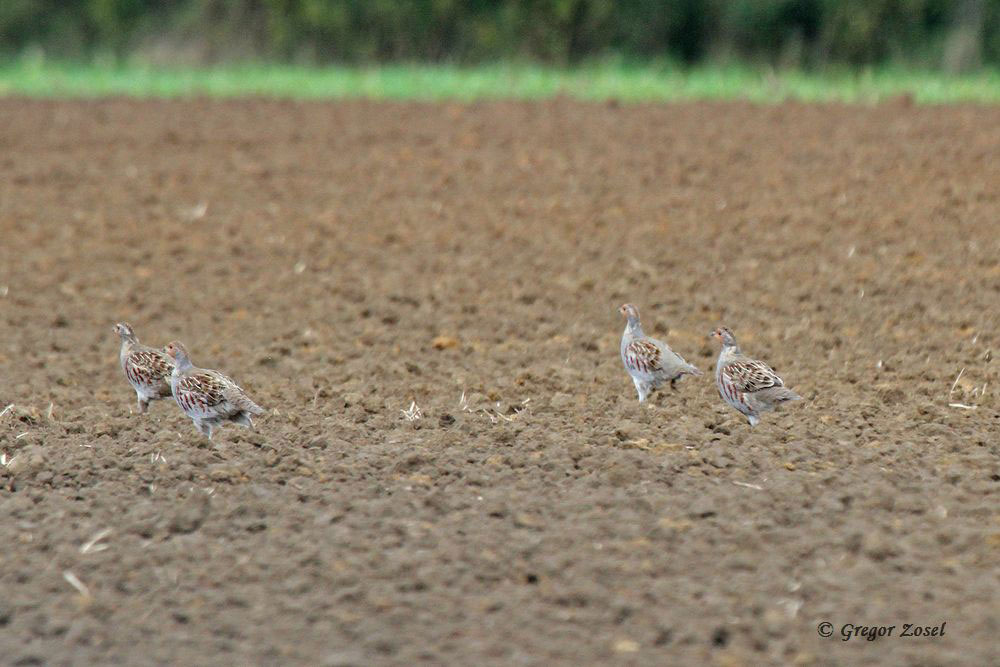 Im Sprint über das Feld in Sicherheit bringen. Rebhuhnkette im Hemmerder Ostfeld....am 06.10.15 Foto: Gregor Zosel