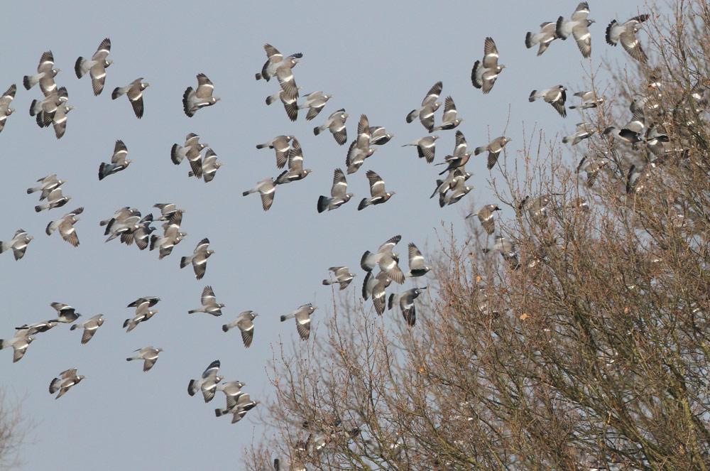 Ringeltauben nahe den Hemmerder Wiesen - am morgigen Samstag sollten sie in Deckung gehen, denn es findet eine kreisweite Jagd auf Tauben statt, 06.02.2015 Foto: Bernhard Glüer