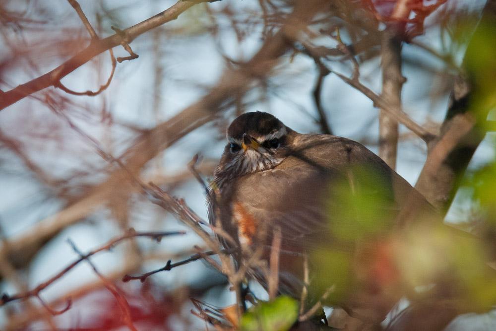 Rotdrossel, recht versteck in einem Strauch hockend...am 27.11.2015 Foto: Marvin Lebeus