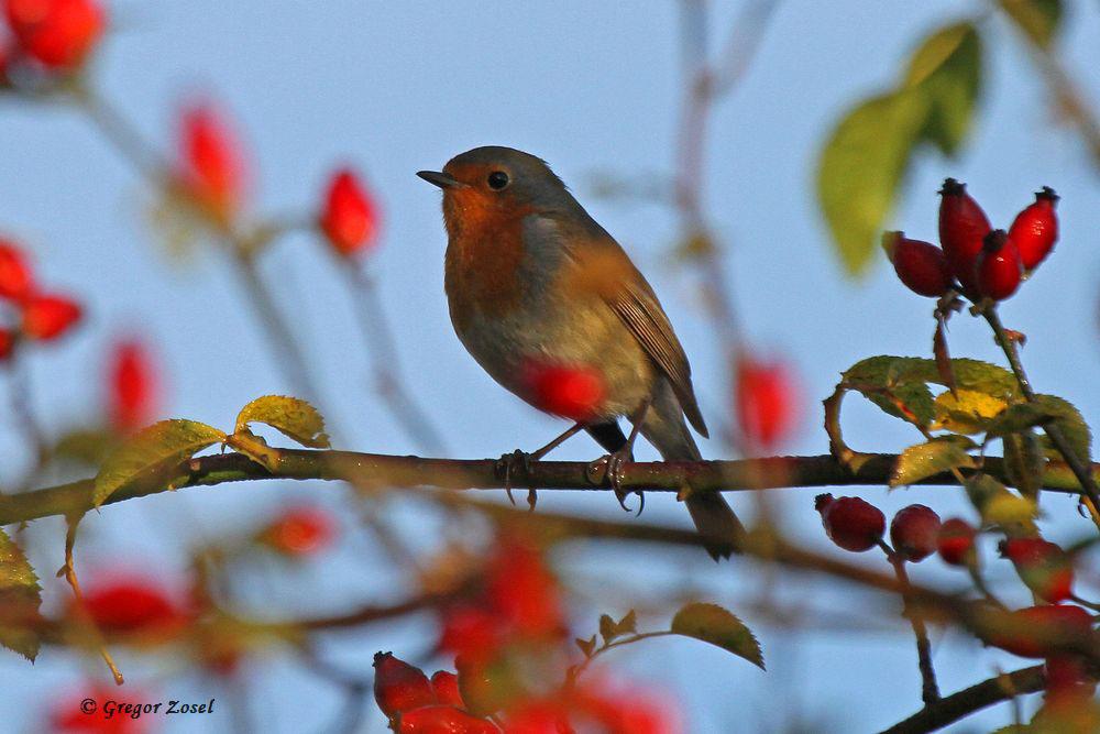 Grob geschätzt dürften bei meinem heutigen Morgenspaziergang wohl etwa 20 Rotkehlchen gesungen haben....am 29.10.15 Foto: Gregor Zosel