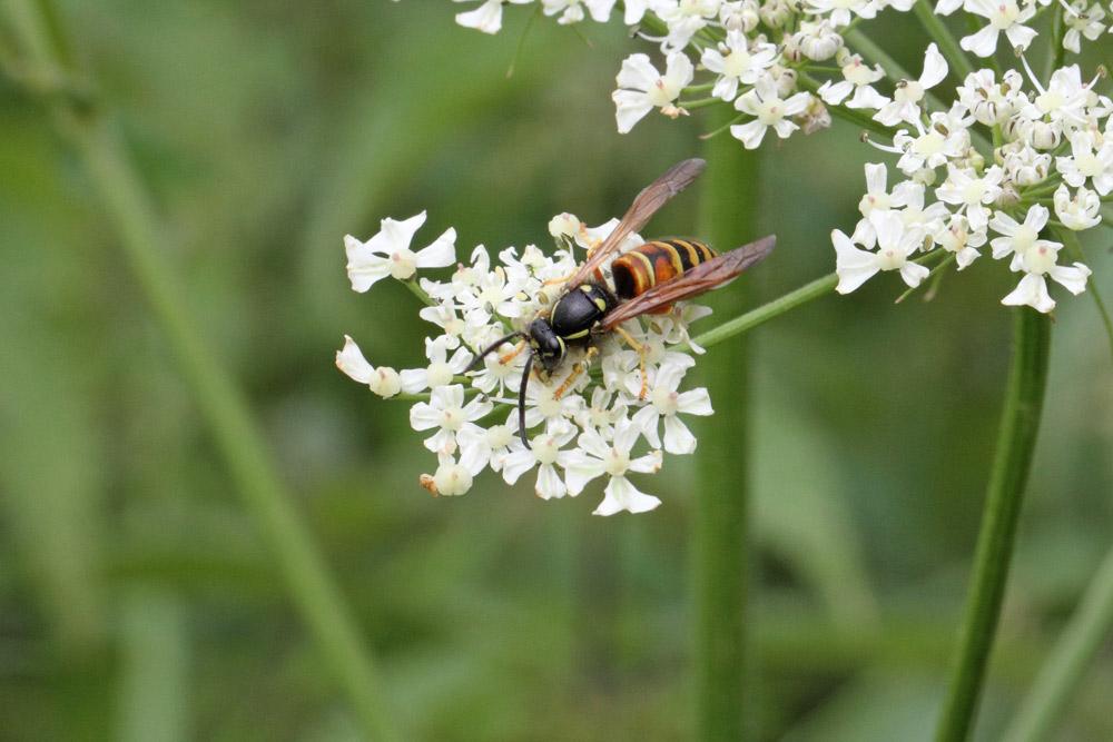 Deutlich seltener als in früheren Jahren: Rote Wespe..., 27.07.2015 Foto: Bernhard Glüer