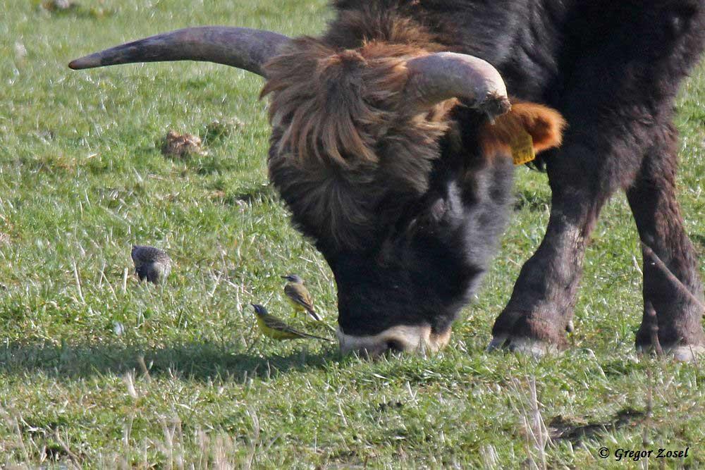 Erste Schafstelzen in diesem Jahr inmitten der Heckrindherde....am 08.04.15 Foto: Gregor Zosel