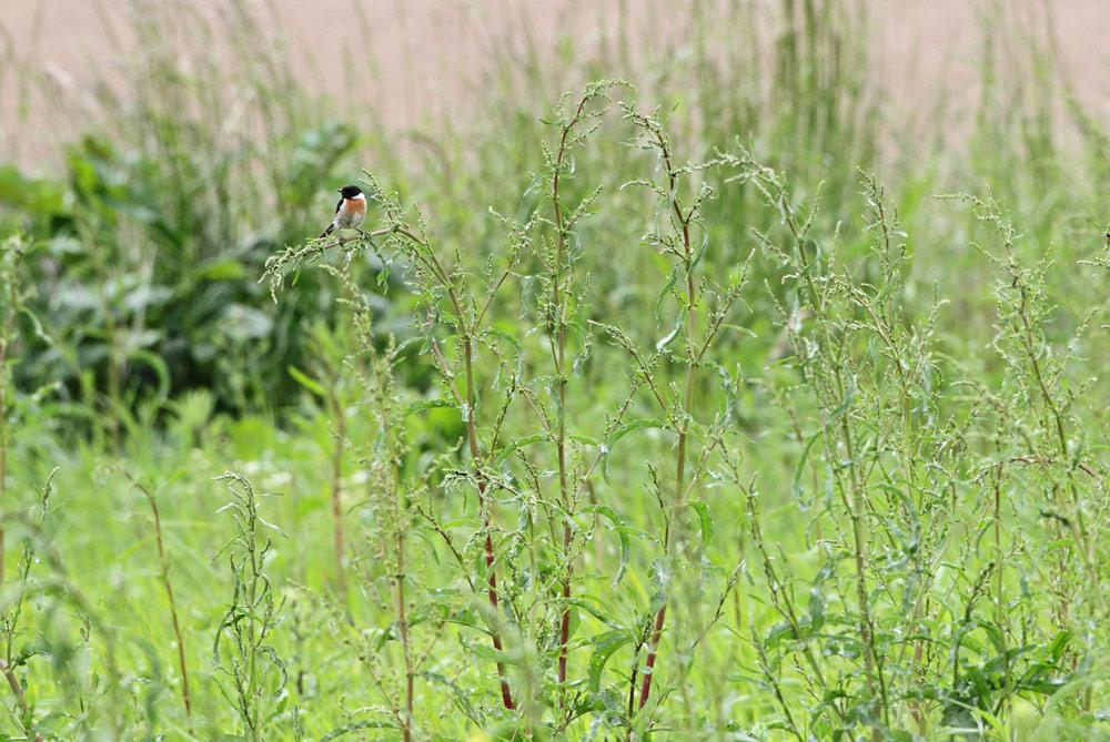 Schwarzkehlchenmännchen auf Feldvogelschutzfläche im Hemmerder Ostfeld, 29.05.2015 Foto: Bernhard Glüer