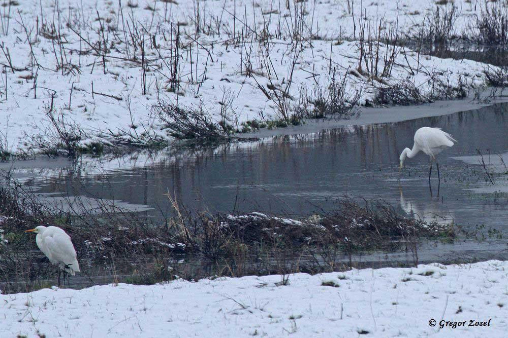 Winterlandschaft mit Silberreihern.....am 25.01.15 Foto: Gregor Zosel