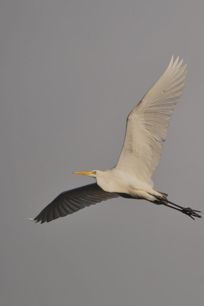 Abfliegender Silberreiher, am 22.11.2015 Foto: Marvin Lebeus