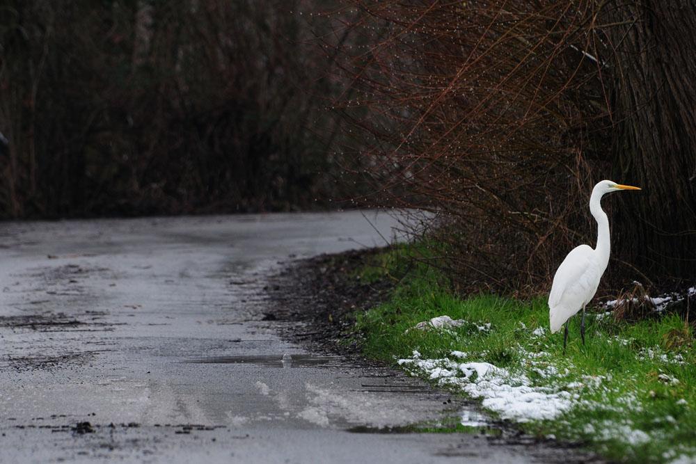 Silberreiher am Straßenrand, kurz bevor er rechts runter in die Amecke geht am 30.01.2015 Foto: Marvin Lebeus