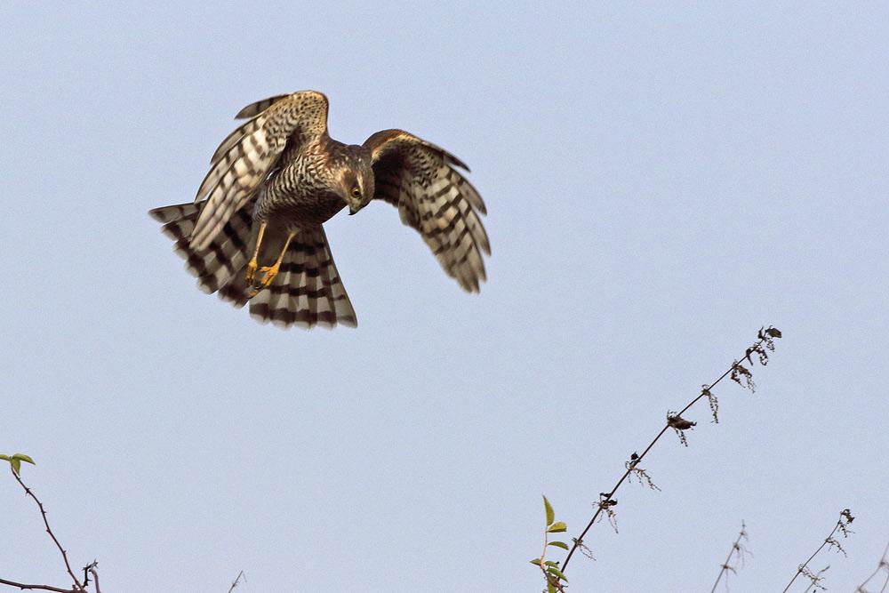 ... mit wuchtelnden Flügelschlägen versucht der Sperber immer wieder, die Ammern aus der sicheren Deckung zu scheuchen, 07.12.2015 Foto: Bernhard Glüer