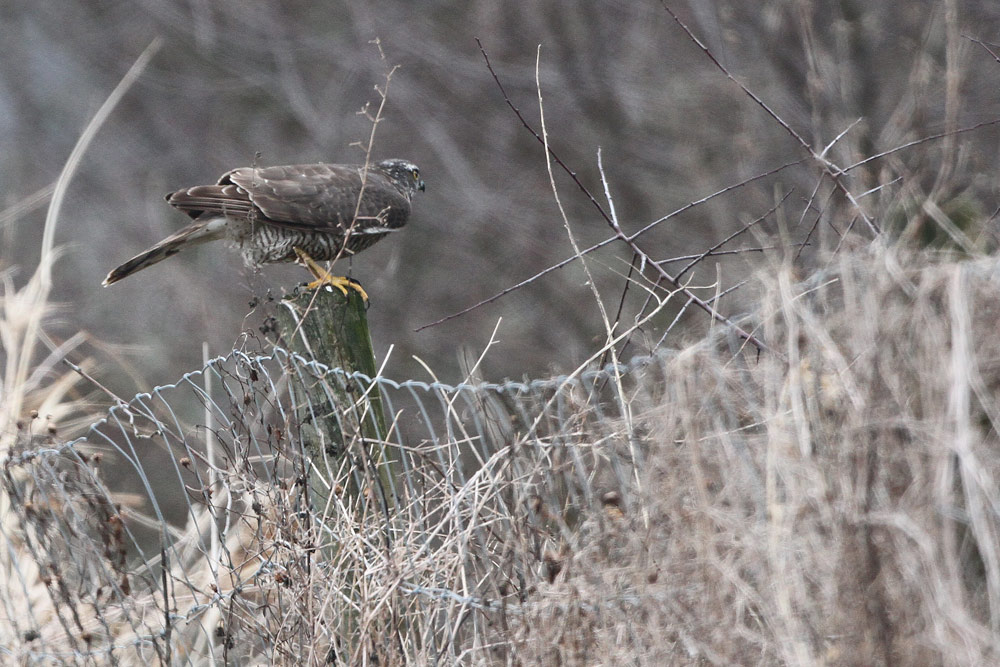 ...jetzt wird  es für jeden Kleinvogel, der nicht schnell genug in Deckung ist, gefährlich, 23.01.2015 Foto: Bernhard Glüer
