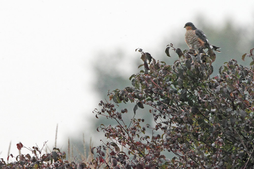 ... und beobachtet Kleinvögel im Maisfeld - Minuten nach dieser Aufnahme macht es dort Beute, 19.10.2015 Foto: Bernhard Glüer