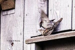 Unterdessen eine Etage tiefer vergnügen sich die Sperlinge. Klar, wenn der Klapperstorch über ihnen wohnt!