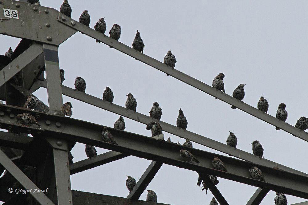 Stare versammeln sich auf den Hochspannungsmasten auf der Kiebitzwiese....am 22.09.15 Foto: Gregor Zosel