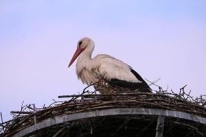 Er steht nun sehr oft auf und richtet etwas im Inneren des Nestes.