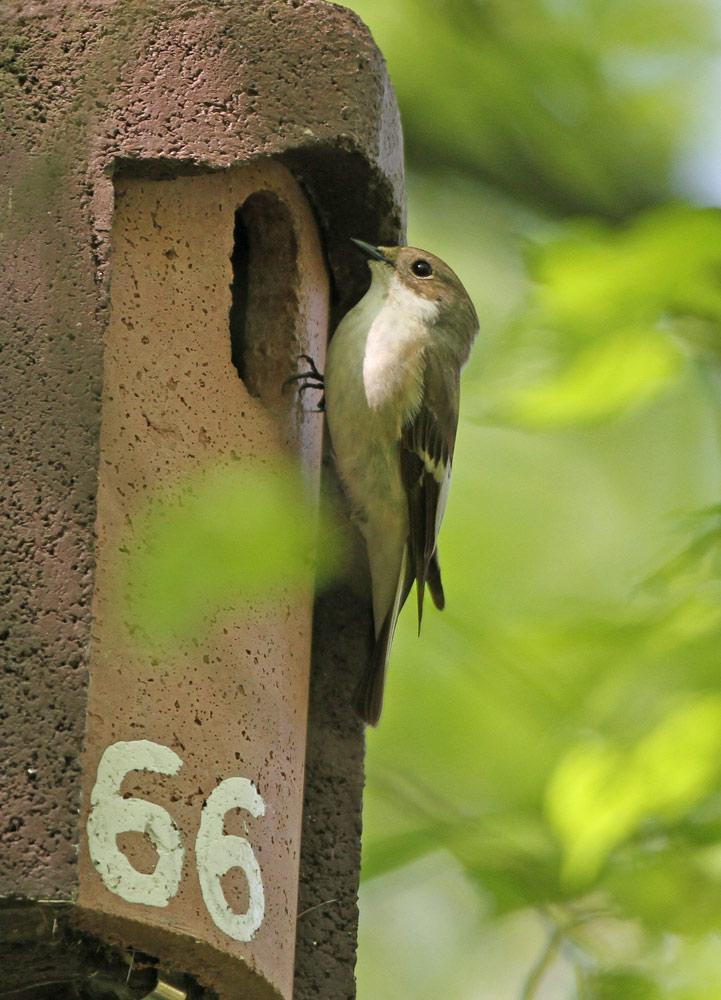 Nur dieser Nistkasten (hier mit dem Männchen der zurückliegenden Saison) enthielt ein Trauerschnäpper-Nest, 25.04.2014 Foto: Bernhard Glüer