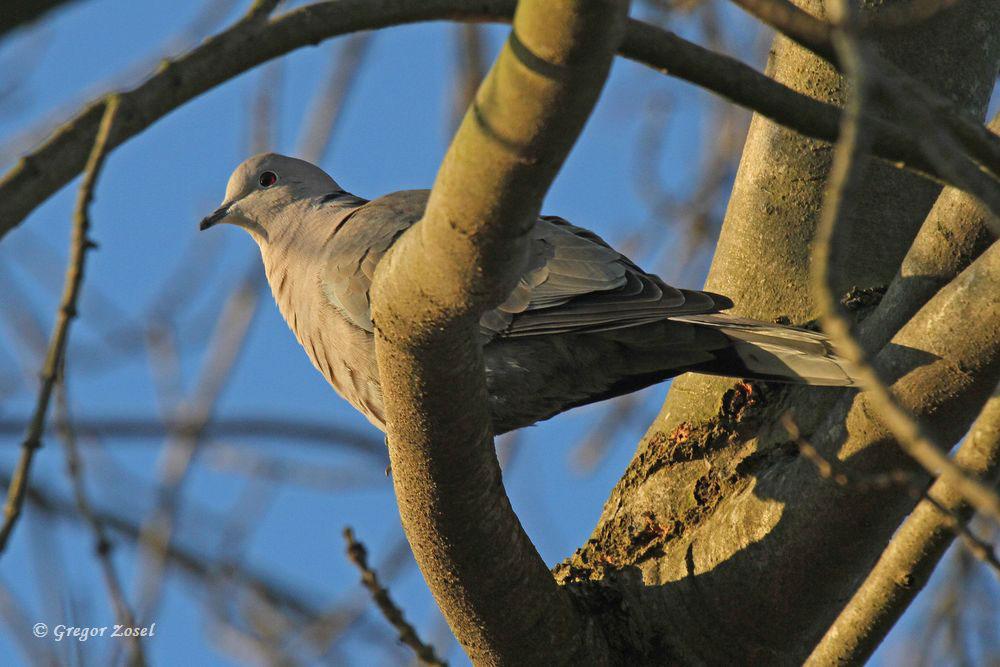 Bei den Tauben hat die Balz begonnen.Auch ein Pärchen Türkentauben zeigt am Aussichthügel wahre Frühlingsgefühle.....am 07.02.15 Foto: Gregor Zosel
