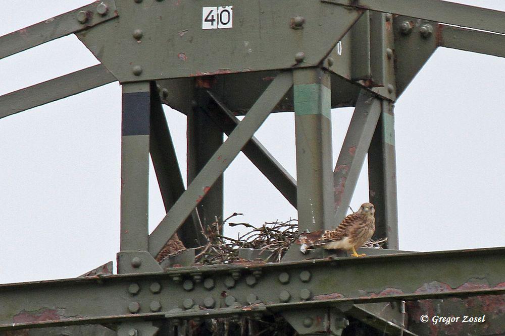 Die Turmfalkenjunge sind noch wohl kurz vor dem Ausflug! Immer wieder fliegen die Altvögel am Hochspannungsmast rufend vorbei und versuchen die Jungen herauszulocken....am 19.07.15 Foto: Gregor Zosel