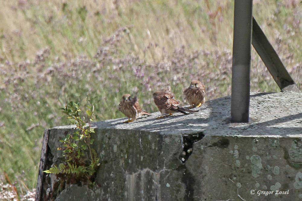 Die Geschwisterliebe bei den Turmfalkenjungen ist groß. Meist gesellen sich 3 Jungvögel zusammen, während 1 junger Turmfalke meist seine eigenen Wege geht und häufig rütteld die Mäusejagd übt....am 29.07.15 Foto: Gregor Zosel