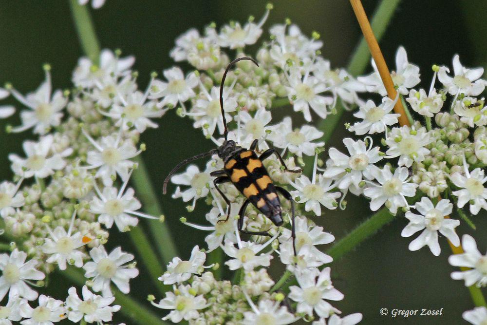 Auf einer Blüte entdeckte ich diesen Vierbindigen Schmalbock ......am 24.07.15 Foto: Gregor Zosel