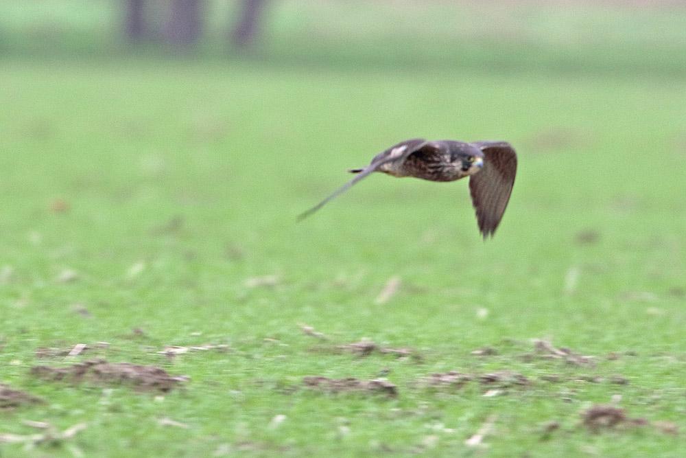... der rasend schnell in meine Richtung fliegende Falke überfordert hier erkennbar meine fotografische Kunst ..., 24.11.2015 Foto: Bernhard Glüer
