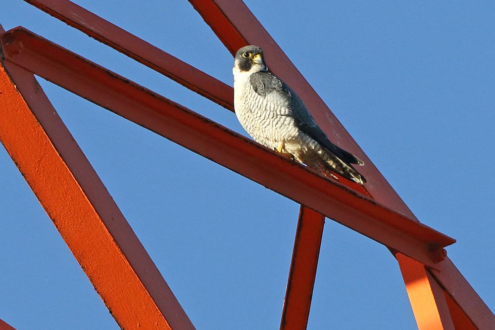 `Normaler´ Wanderfalke (Falco peregrinus) - vermutlich männlich - im Ruhrtal, 27.11.2015 Foto: Bernhard Glüer