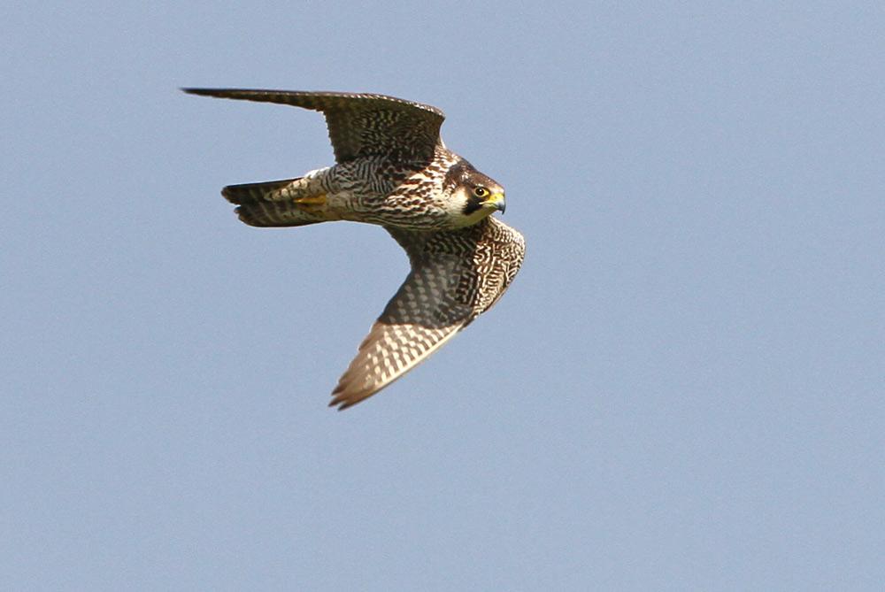 ...das Spiel mit den Elementen scheint den `schnellsten Vögeln der Welt´ Spaß zu machen - hier wird zum Sturzflug angesetzt, 30.03.2015 Foto: Bernhard Glüer