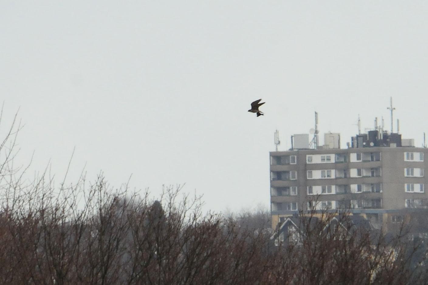 Selbst in weiter Ferne erkennt man noch gut die Silhouette des Falken und des geschlagenen Vogels am 31.03.2015 Foto: Marvin Lebeus