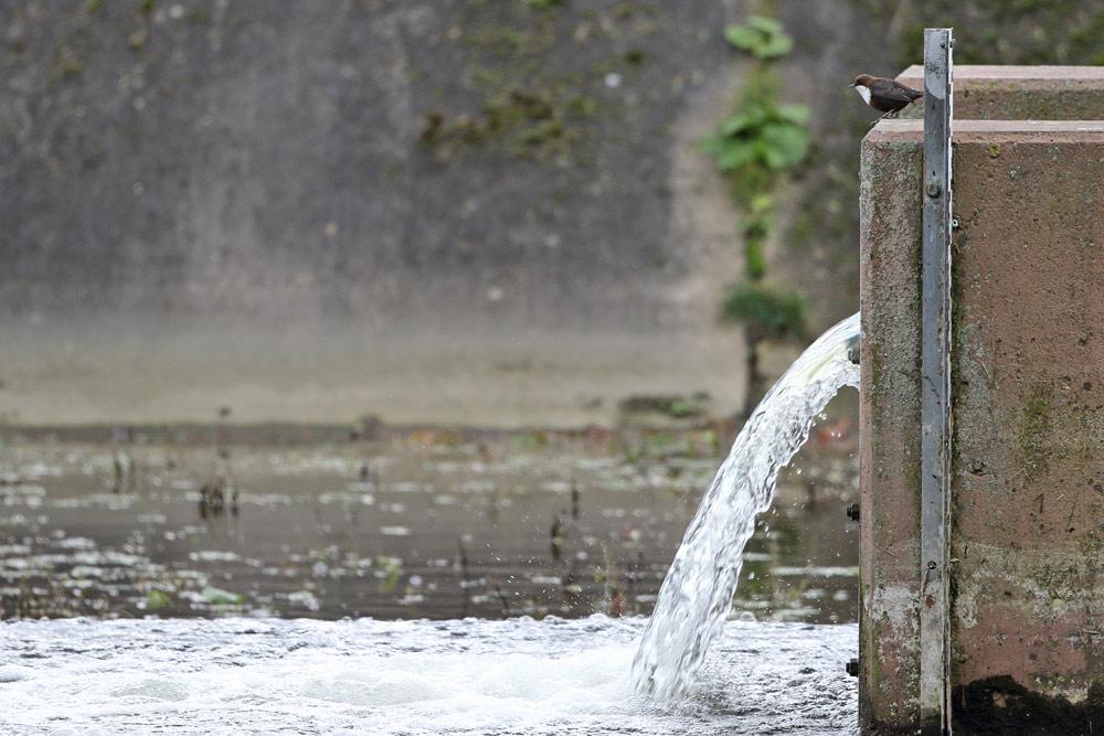 ... nicht gerade ein typischer Aufenthaltsort für eine Wasseramsel: der Einlaufberich in einem Filterbecken des Wassergewinnungsgeländes..., 22.11.2015 Foto: Bernhard Glüer