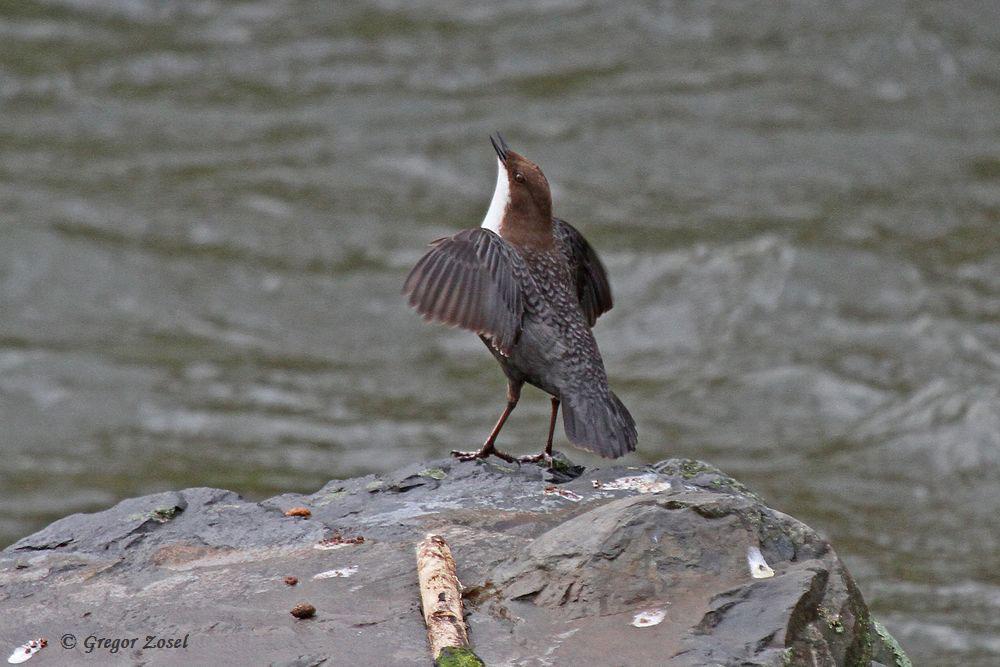 Gesang und Imponiergehabe mit ausgebreiteten Flügeln und Präsentation der weißen Brust sind typisch für die beginnende Balz im Herbst....am 07.12.15 Foto: Gregor Zosel