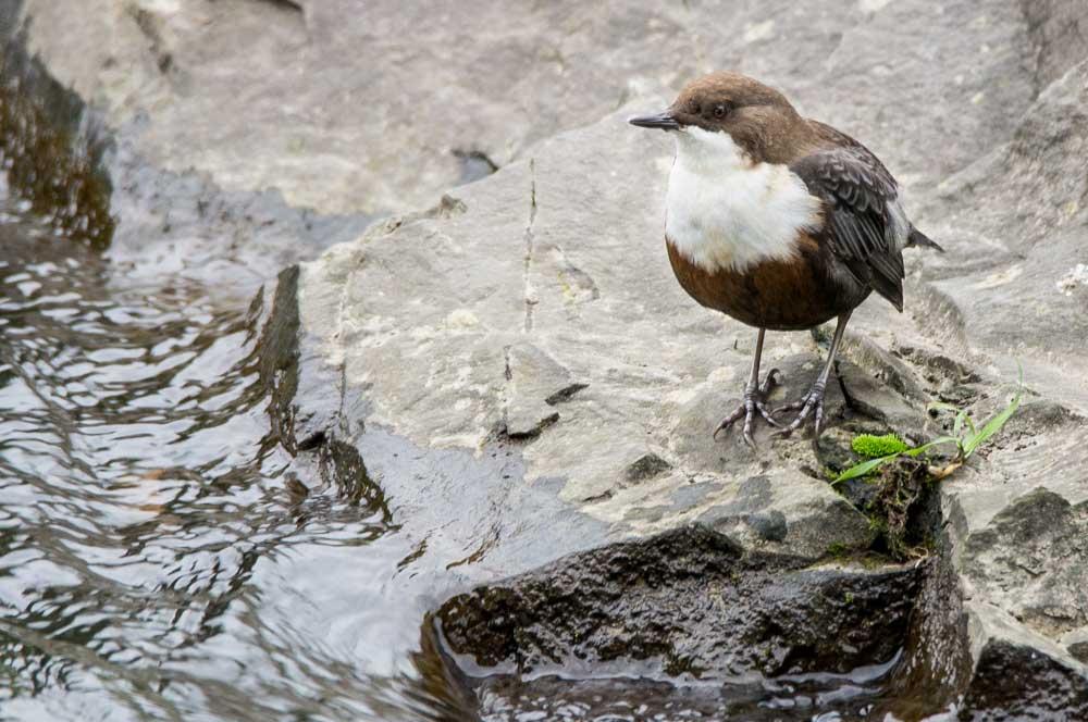 Wasseramsel an der Hönne....am 25.09.15 Foto: Lars Weiser