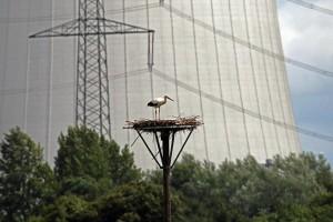 einzelner Weißstorch auf dem Nest, Bergkamen Heil, 28.07.2015 (Foto: G.Reinartz)
